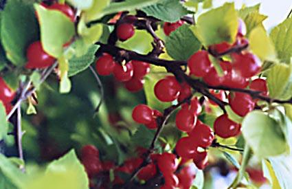 Bush Fruit At Greengate