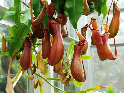 Nepenthes or Pitcher house plants
