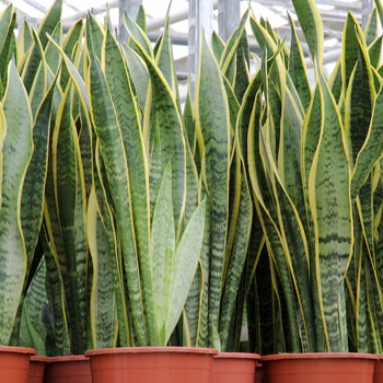 Monstera and Sansevieria house plants