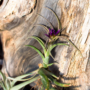 Tillandsia house plant