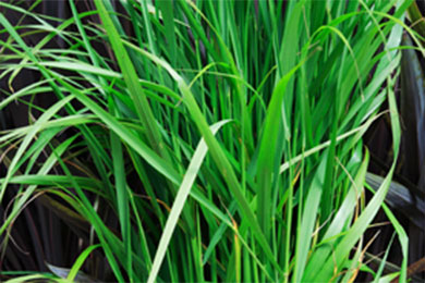 Annual Ornamental Grasses Ornamental grasses annual flower ornamental grasses are grown for workwithnaturefo