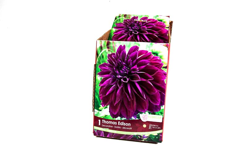 Decorative Dahlia Thomas Edison