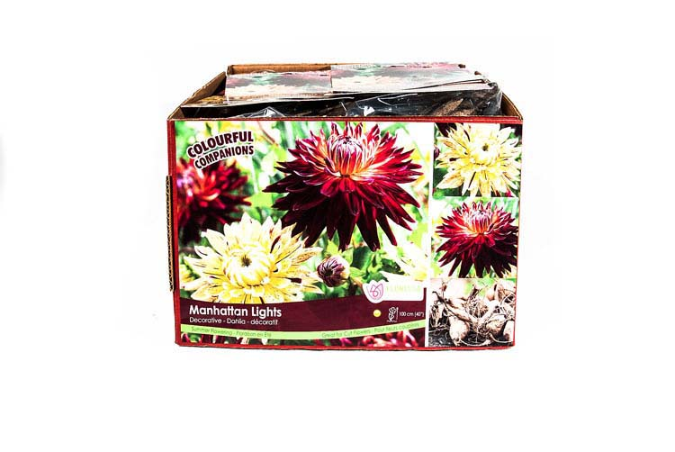 Decorative Dahlia Manhattan Lights