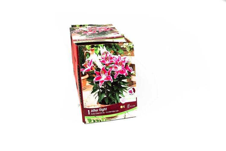 Patio Oriental Lily After Eight