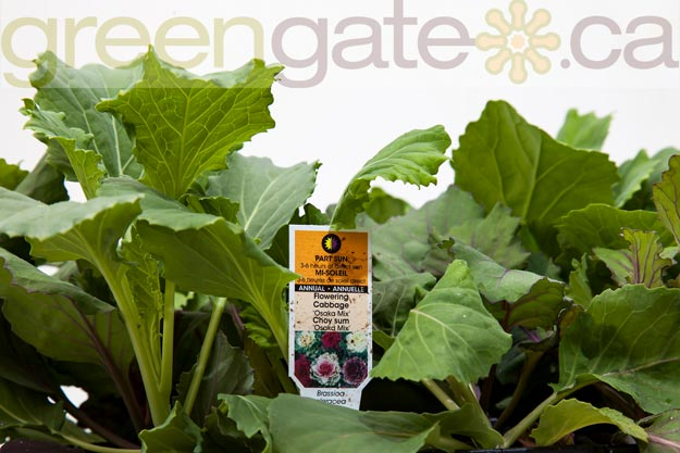 Osoka Mix Flowering Cabbage