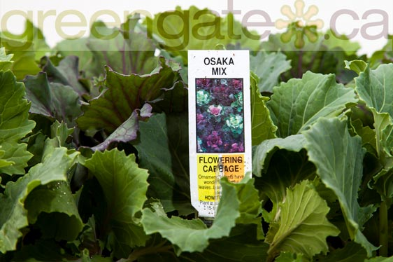 Osaka Mix Flowering Cabbage
