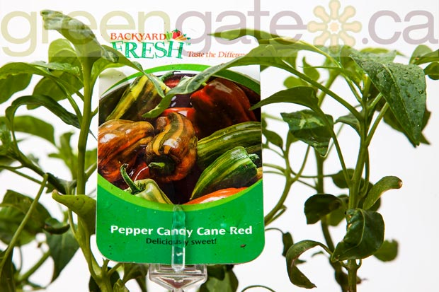 Candy Cane Red Pepper