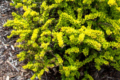 Calgary barberry shrubs